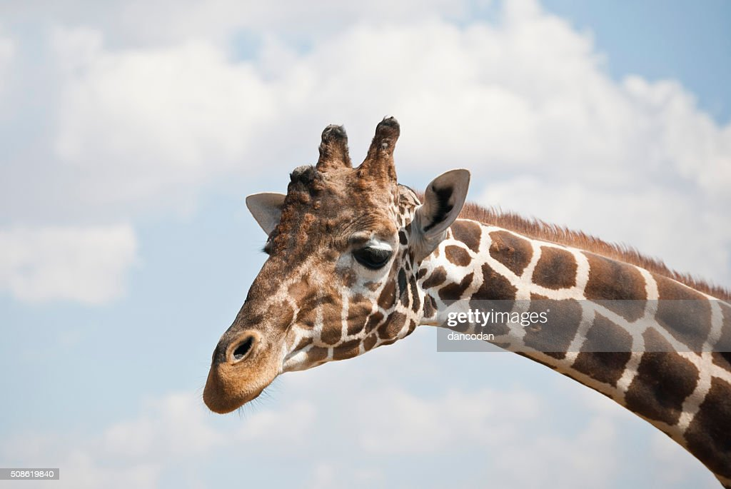 girafa : Stock Photo