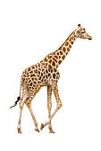 Giraffe walking isolated on white background.