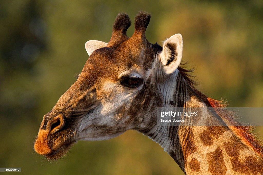 Giraffe portrait, Kruger National Park, Africa : Stock Photo