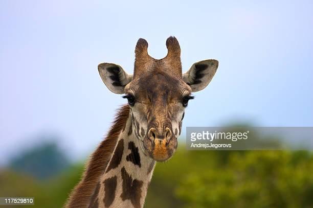 Giraffe portrait, middle range - Version 2