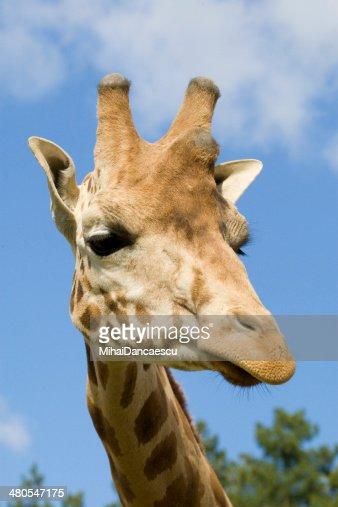 Retrato de girafa : Foto de stock