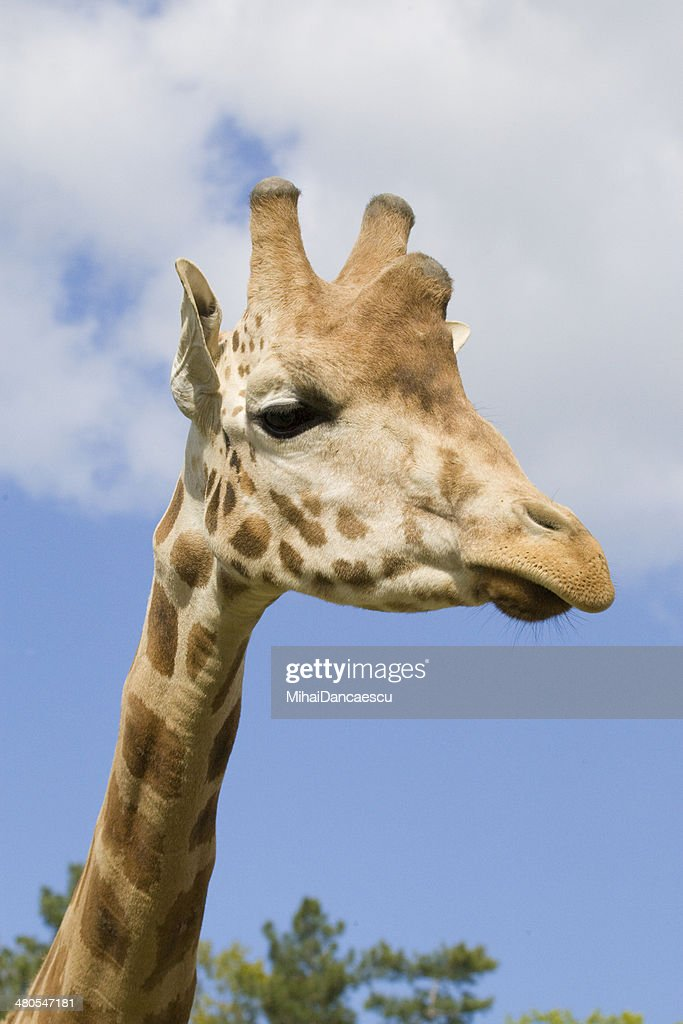 Giraffe Porträt : Stock-Foto