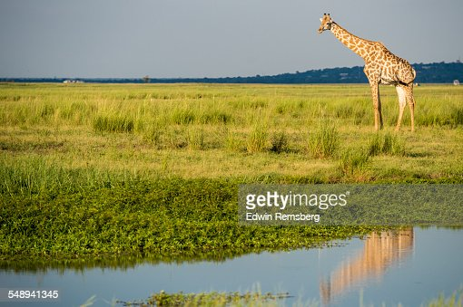 Giraffe reflected in the water
