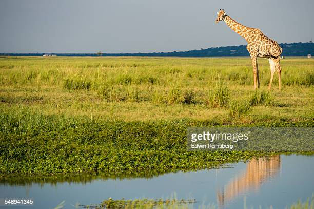 Giraffe reflected in the water