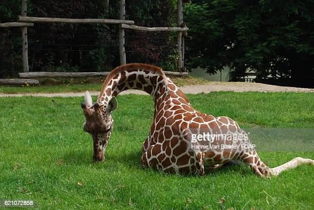 Giraffe relaxing on green grass