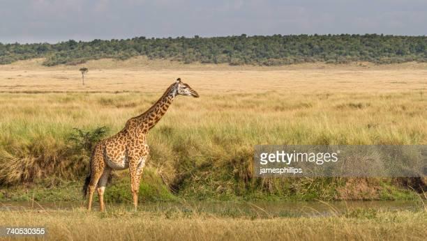 Giraffe sanding in the bush, Masai Mara National Park, Narok, Kenya