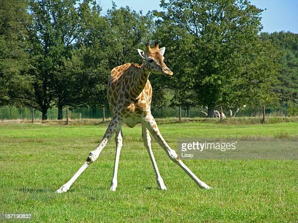 Jirafa propagación de las piernas
