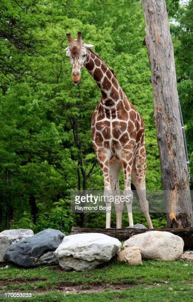 Giraffe stands tall and poses for a photo at Lincoln Park Zoo in Chicago Illinois on MAY 29 2013