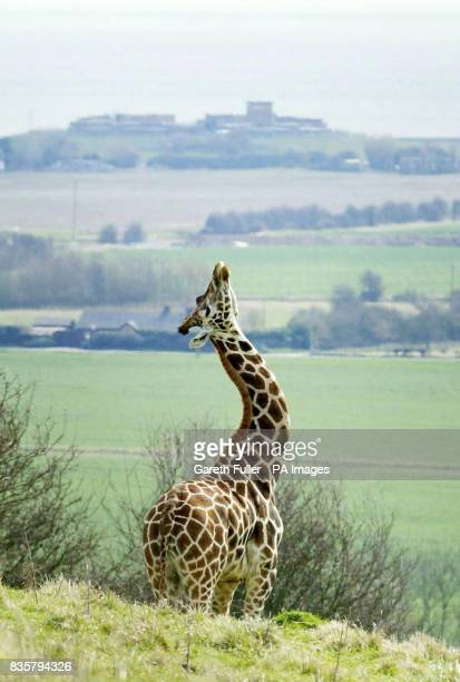 A giraffe streches its neck as it is released onto part of Romney Marsh in Kent Tuesday April 4 as part of an new safari experience at the Port...