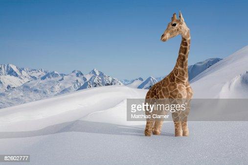 Giraffe stuck in the snow : Stock Photo
