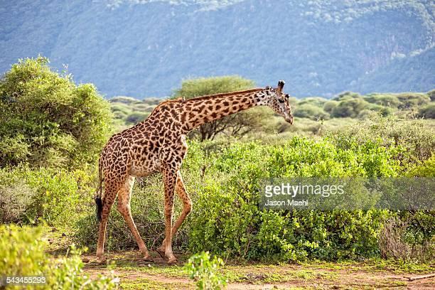 Giraffe, Tanzania Safari