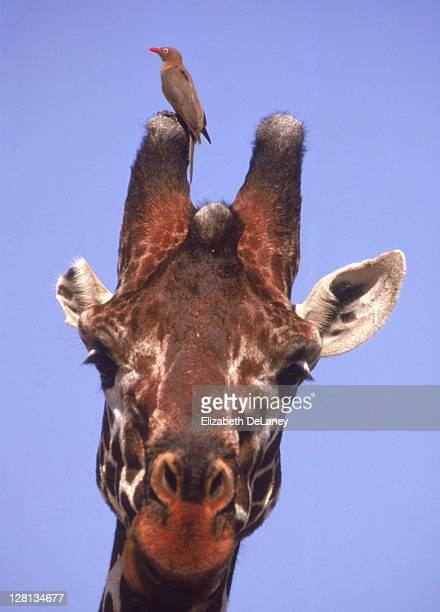 Giraffe w/ red-billed oxpecker on horn
