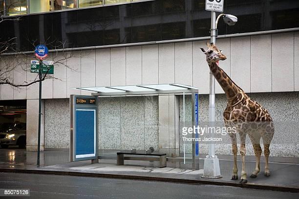 Giraffe waiting at bus stop