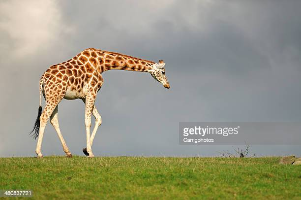 Giraffe walking against dark sky