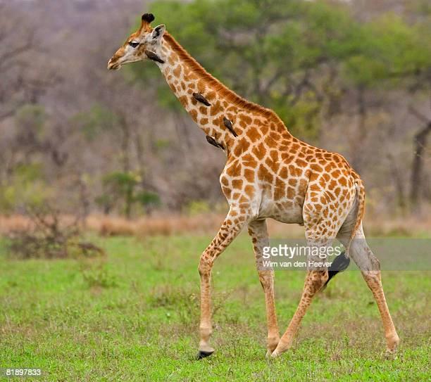 Giraffe walking, Greater Kruger National Park, South Africa