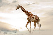 Giraffe walking in desert island