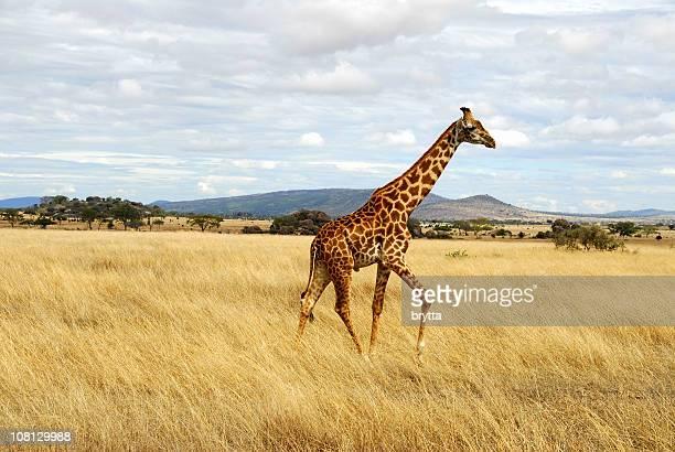 Giraffe Walking Through African Serengeti, Tanzania