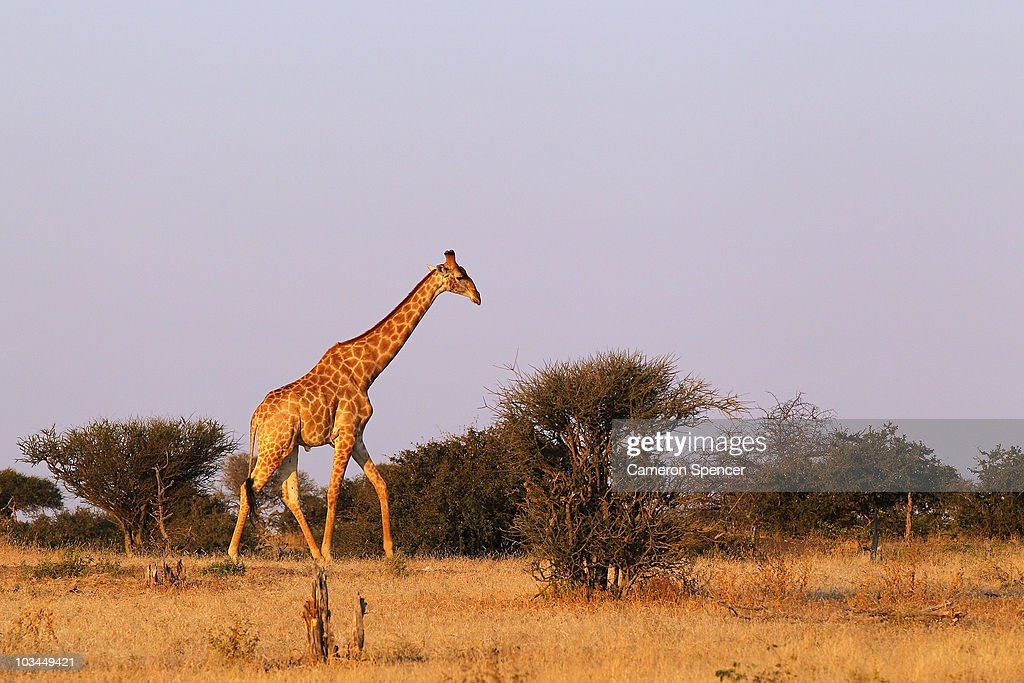 A giraffe walks across a savanna at the Mashatu game reserve on July 26, 2010 in Mapungubwe, Botswana. Mashatu is a 46,000 hectare reserve located in Eastern Botswana where the Shashe river and Limpopo river meet.