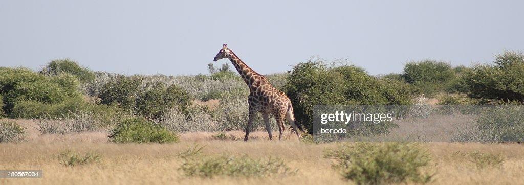 Giraffe walks among the thorny bushes of the Kalahari Desert, Botswana : Stock Photo