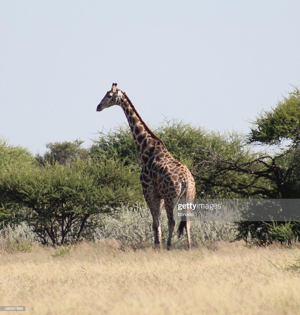 Giraffe walks among the thorny trees of the Kalahari Desert, Botswana. : Stock Photo