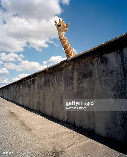 Giraffe watching over cement wall