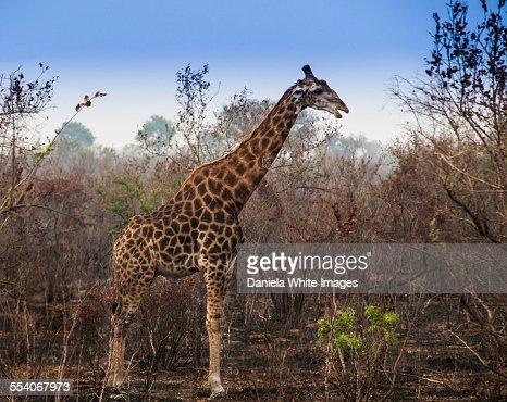 Giraffe with a hurt neck