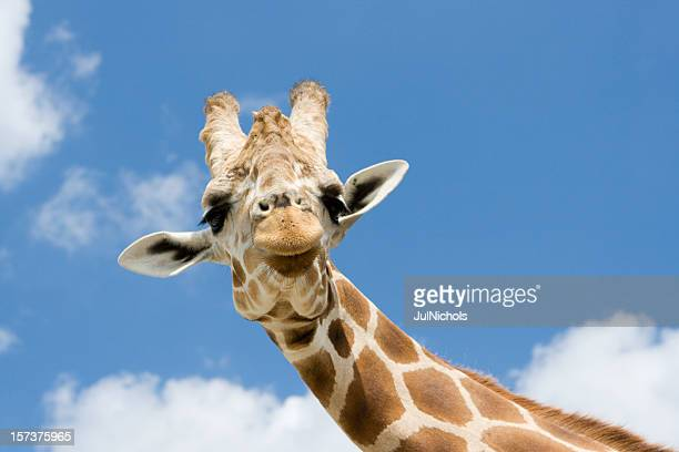 Giraffe with Funny Expression