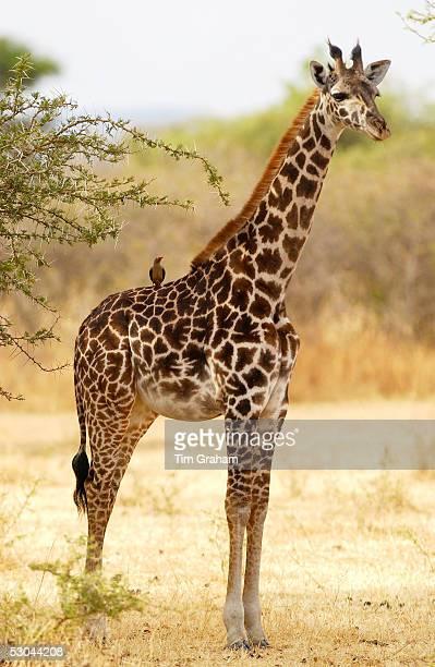 Giraffe with Oxpecker on its back Grumeti Tanzania
