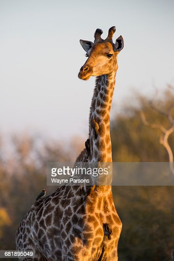 Giraffe with Oxpeckers, Giraffa camelopardalis, Buphagus erythrorhynchus, Kruger National Park, South Africa.