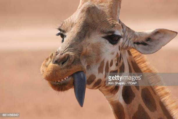 Giraffe with sticking out tongue