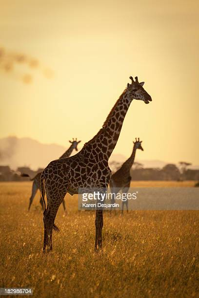 Giraffes at sunset, Serengeti