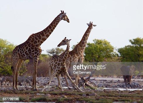 Giraffes at Watering Hole