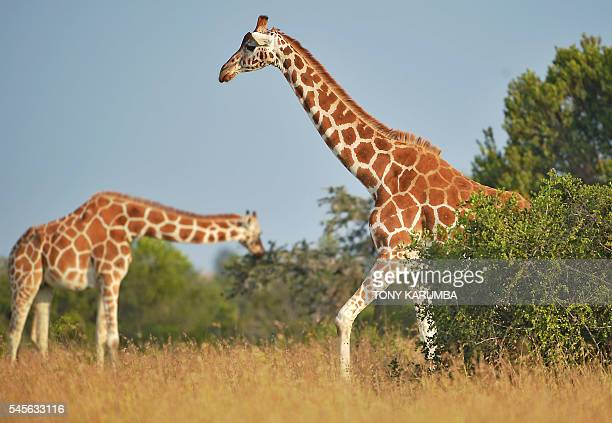 Giraffes browse at the OlPejeta conservancy in Laikipia county approximately 200 kilometres north of the Kenyan capital Nairobi on July 8 2016...
