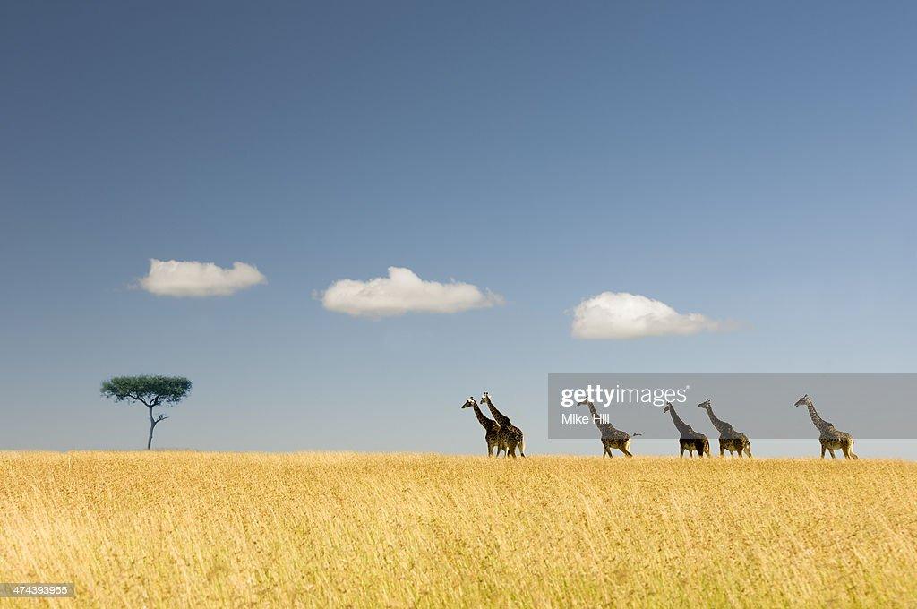 Giraffes crossing the savannah, Masai Mara National Park, Kenya (Giraffa camelopardalis).