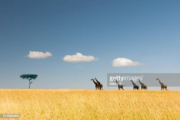 Giraffes crossing the savannah