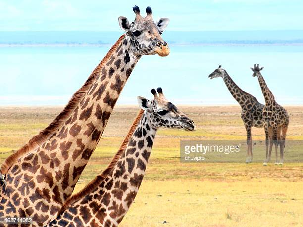 Giraffe's family near lake