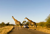 Giraffes -Giraffa camelopardalis- crossing a road, a jeep at the back, Kruger National Park, South Africa