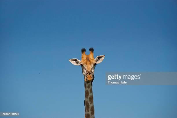 Giraffe's head on blue sky