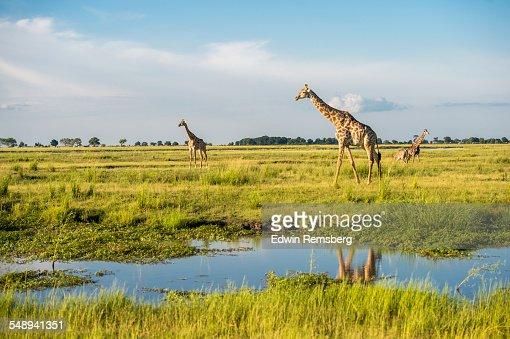Giraffe's in a National Park