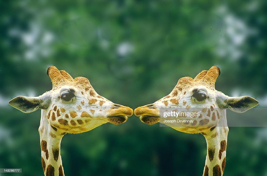 Giraffes in love : Stock Photo