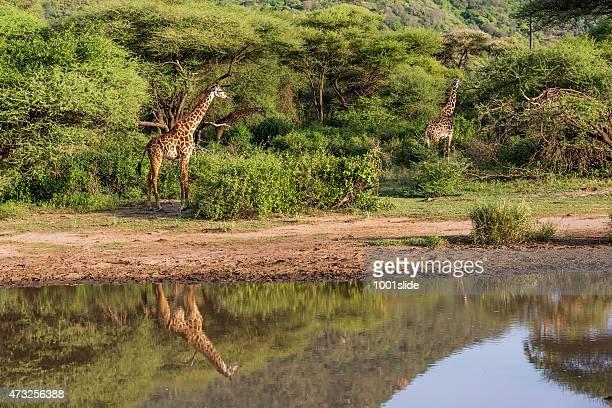 As girafas: Reflexo