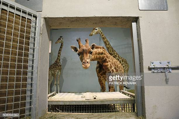 Giraffes stand in a cage during a behindthescenes visit of the Vincennes zoo in Paris on February 4 as part of the Paris Face Cache 2016 event / AFP...