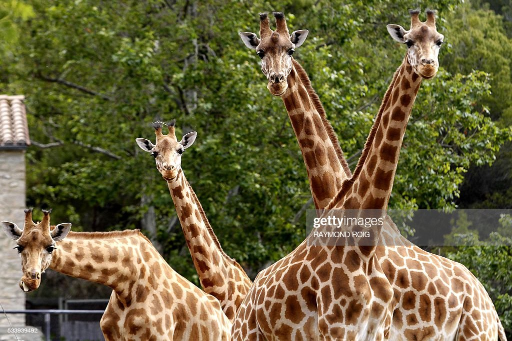 Giraffes stand in their enclosure at the African Reserve (Réserve Africaine ) of Sigean, southern France on May 24, 2016. / AFP / RAYMOND