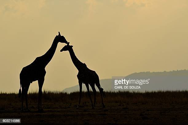 TOPSHOT Giraffes stand together during the annual wildebeest migration in the Masai Mara game reserve on September 12 2016 / AFP / CARL DE SOUZA