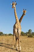 Giraffes Standing Side by Side, Botswana
