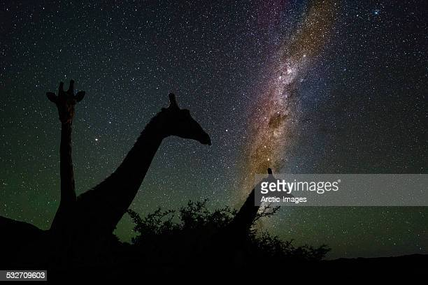Giraffes under starry skies, Namibia, Africa