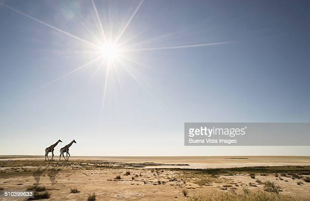 Giraffes under sunshine in desert