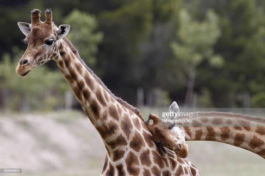 Giraffes wander about at the African Reserve (Réserve Africaine ) of Sigean, southern France on May 24, 2016. / AFP / RAYMOND