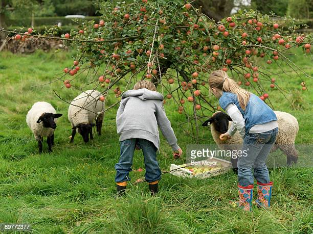 Girl and boy picking apples with sheep