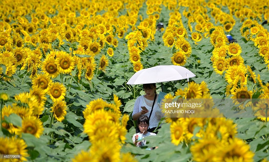 A girl and her mother walk through a maze of sunflowers growing in a field during a three-day sunflower festival in the town of Nogi, Tochigi prefecture, some 70 kms north of Tokyo on July 27, 2014. A total of some 200,000 sunflowers welcomed guests for the summer festival, an annual draw for the small town.